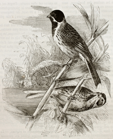 Old illustration of Reed Bunting (Emberiza schoeniclus). Created by Kretschmer, published on Merveilles de la Nature, Bailliere et fils, Paris, 1878