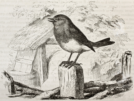 ancient bird: Robin old illustration (Erithacus rubecula). Created by Kretschmer and Wendt, published on Merveilles de la Nature, Bailliere et fils, Paris, 1878