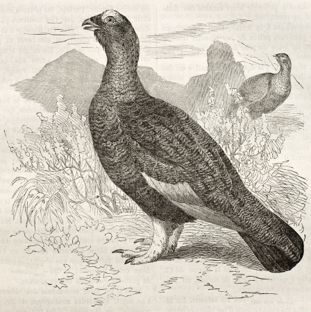 Rock Ptarmigan old illustration (Lagopus muta). Created by Kretschmer and Schmid, published on Merveilles de la Nature, Bailliere et fils, Paris, ca. 1878