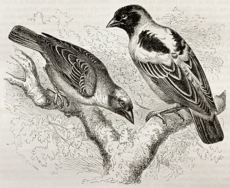 Old illustration of Ruppell Weaver (Ploceus galbula) and Heuglin Masked Weaver (Ploceus heuglini). Created by Kretschmer, published on Merveilles de la Nature, Bailliere et fils, Paris, 1878