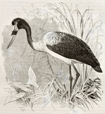 Saddle-billed Stork old illustration (Ephippiorhynchus senegalensis). Created by Kretschmer, published on Merveilles de la Nature, Bailliere et fils, Paris, ca. 1878