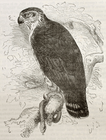 Old illustration of Short-Toed Snake Eagle (Circaetus gallicus). Created by Kretschmer and Wendt, published on Merveilles de la Nature, Bailliere et fils, Paris, 1878
