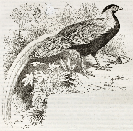 Silver Pheasant old illustration (Lophura Nicthemera). Created by Kretschmer and Schmid, published on Merveilles de la Nature, Bailliere et fils, Paris, ca. 1878