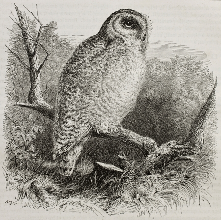 ancestry: Old illustration of Snowy Owl (Bubo scandiacus). Created by unidentified author, published on Merveilles de la Nature, Bailliere et fils, Paris, 1878