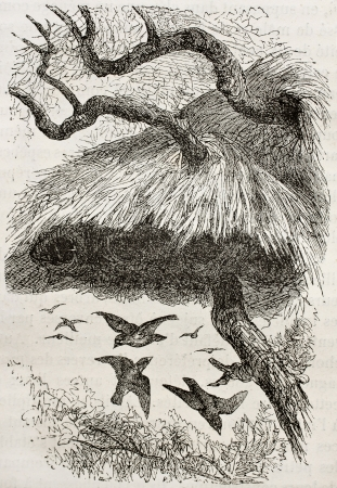 weaver bird nest: Old illustration of sociable weaver (Philetairus socius). Created by Kretschmer and Jahrmargt, published on Merveilles de la Nature, Bailliere et fils, Paris, 1878