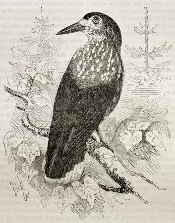 Old illustration of a Spotted Nutcracker (Nucifraga Caryocatactes). Created by Kretschmer, published on Merveilles de la Nature, Bailliere et fils, Paris, 1878 Stock Photo - 15004973