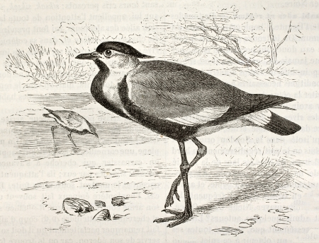 spur winged: Spur-winged Lapwing old illustration (Hoplopterus spinosus). Created by Kretschmer and Wendt, published on Merveilles de la Nature, Bailliere et fils, Paris, ca. 1878 Editorial