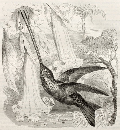 Sword-billed Hummingbird old illustration (Ensifera ensifera). Created by Kretschmer, published on Merveilles de la Nature, Bailliere et fils, Paris, ca. 1878