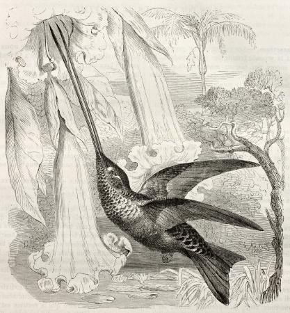 billed: Sword-billed Hummingbird old illustration (Ensifera ensifera). Created by Kretschmer, published on Merveilles de la Nature, Bailliere et fils, Paris, ca. 1878