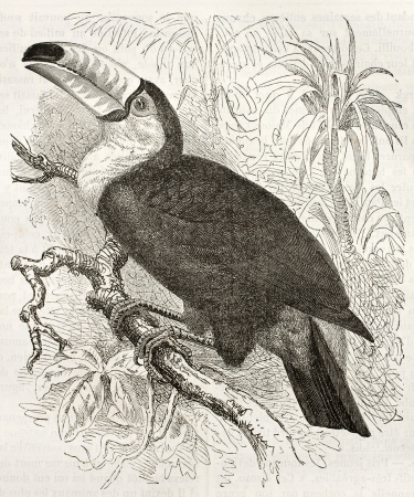 Toco Toucan old illustration (Ramphatos toco). Created by Kretschmer and Illner, published on Merveilles de la Nature, Bailliere et fils, Paris, ca. 1878