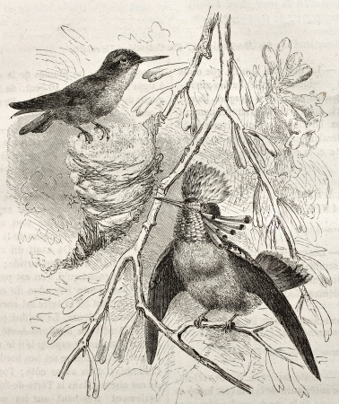 coquette: Tufted Coquette old illustration (Lophornis ornatus). Created by Kretschmer and Illner, published on Merveilles de la Nature, Bailliere et fils, Paris, ca. 1878
