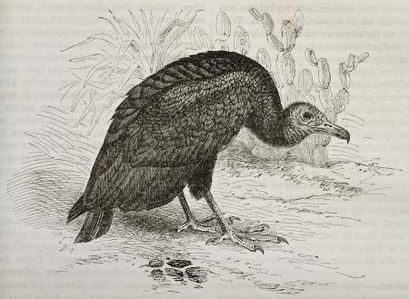 black ancestry: Old illustration of Turkey Vulture (Cathartes aura). Created by Kretschmer and Illner, published on Merveilles de la Nature, Bailliere et fils, Paris, 1878
