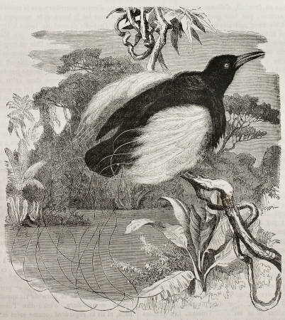 ancient bird: Old illustration of Twelve-wired Bird of Paradise (seleucidis melanoleucus). Created by Kretschmer and Jahrmargt, published on Merveilles de la Nature, Bailliere et fils, Paris, 1878 Editorial
