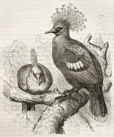 crown tail: Victoria Crowned Pigeon old illustration (Goura victoria). Created by Kretschmer and Schmid, published on Merveilles de la Nature, Bailliere et fils, Paris, ca. 1878
