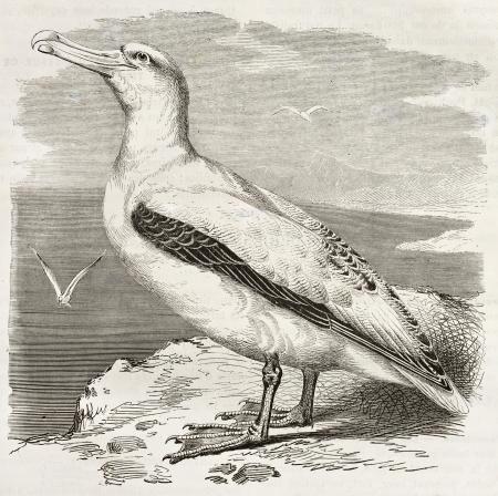 wandering: Wandering Albatross old illustration (Diomedea exulans). Created by Kretschmer, published on Merveilles de la Nature, Bailliere et fils, Paris, ca. 1878