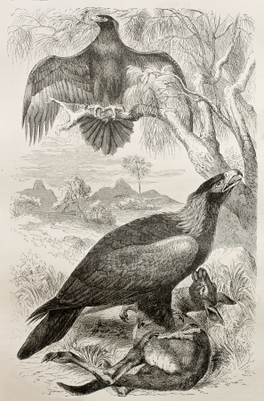 tailed: Old illustration of Wedge-tailed Eagle (Aquila audax) . Created by Kretschmer and Jahrmargt, published on Merveilles de la Nature, Bailliere et fils, Paris, 1878