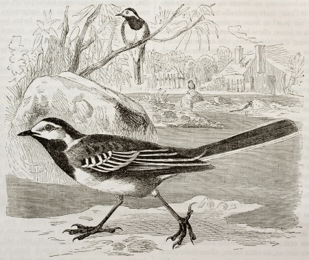 wagtail: White Wagtail old illustration (Motacilla alba). Created by Kretschmer, published on Merveilles de la Nature, Bailliere et fils, Paris, 1878