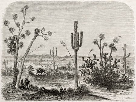 Old illustration of Cereus giganteus. Created by Lancelot and Maurand after report made under the direction of the U.S. secretary of the war. Published on Le Tour du Monde, Paris, 1860