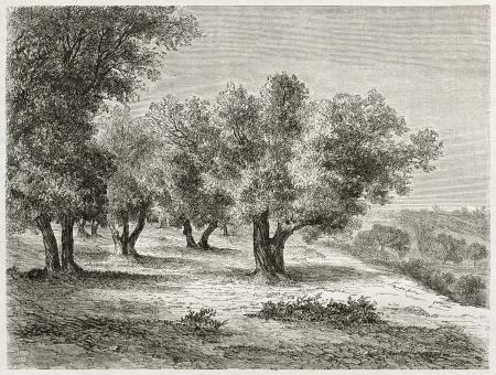 arboleda: Antigua ilustración de Olivar. Creado por Lancelot tras foto de autor desconocido, publicado en Le Tour du Monde, París, 1860