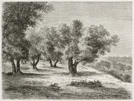 Old illustration of Olive grove. Created by Lancelot after photo of unknown author, published on Le Tour du Monde, Paris, 1860