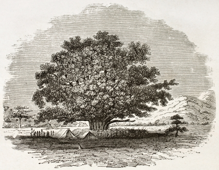 Ficus Sycomorus old illustration. Created by Burton, published on Le Tour du Monde, Paris, 1860