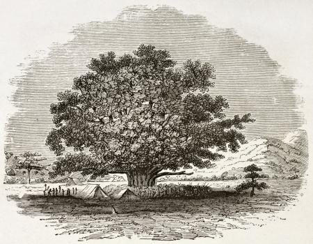 Ficus Sycomorus old illustration. Created by Burton, published on Le Tour du Monde, Paris, 1860