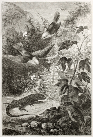 aureola: Reptil and birds of Galapagos islands. Created by Rouyer and Huyol after atlas of Beagle, published on Le Tour du Monde, Paris, 1860