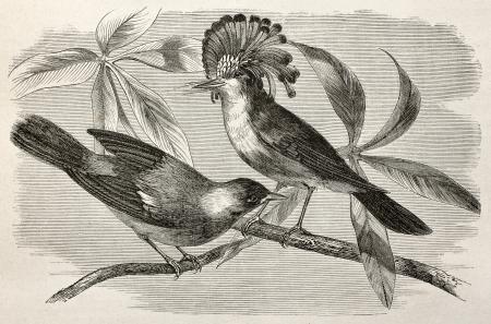pajaro dibujo: Antigua ilustración de Royal papamoscas (Onychorhynchus coronatus). Creado por Riou, después de Rouyer y Badoursau, publicado en Le Tour du Monde, París, 1864