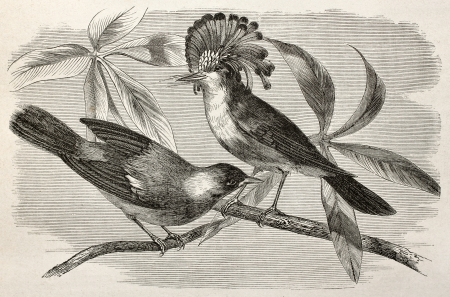 oiseau dessin: Vieille illustration de Royal gobe-mouches (Onychorhynchus coronatus). Créé par Riou, après Rouyer et Badoursau, publié sur Le Tour du Monde, Paris, 1864 Éditoriale
