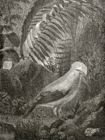 peru amazon: Old illustration of Rupicola peruvianus, also known as Cock of the rock, national bird in Peru. Created by Riou, published on Le Tour du Monde, Paris, 1864