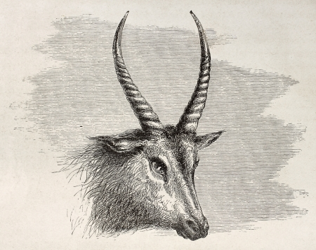 african ancestry: Antelope head old illustration. By unidentified author, published on Le Tour du Monde, Paris, 1867