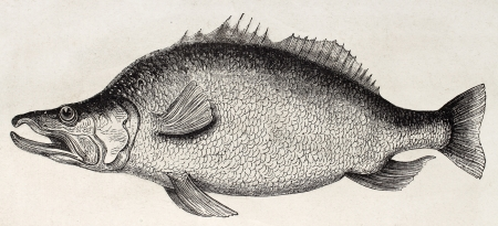Baggera old illustration (Lake Alberta fish). By unidentified author, published on Le Tour du Monde, Paris, 1867