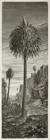 african ancestry: Dracaena old illustration. Created by Faguet, published on Le Tour du Monde, Paris, 1867