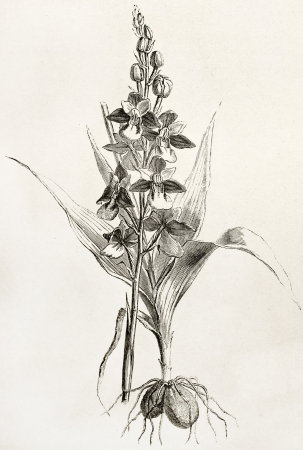 Fly orchid old illustration (Ophrys insectifera). Created by Faguet after Lejean, published on Le Tour du Monde, Paris, 1867 Stock Photo - 15180116