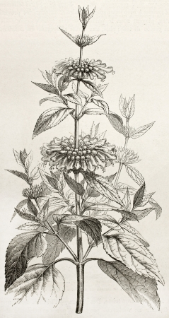 Leonotis Leonurus old illustration (also known as Wild Dagga or Lions tail). African medical shrub. Created by Faguet after Lejean, published on Le Tour du Monde, Paris, 1867