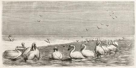 Group of pelicans (Pelicanus onocrotalus) fishing in Volga shallow. Created by Moynet, published on Le Tour du Monde, Paris, 1867