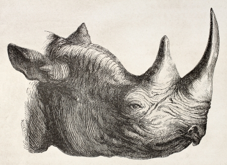 Rhynoceros head old illustration. By unidentified author, published on Le Tour du Monde, Paris, 1867