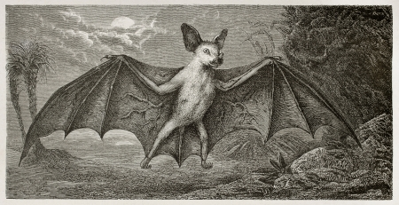 New Caledonia Flying Fox old illustration (Pteropus vetulus). Created by Mesnel, published on Le Tour Du Monde, Paris, 1867