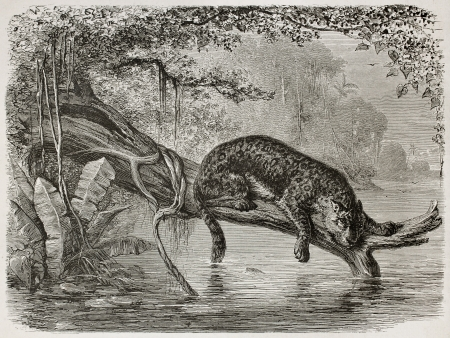 Jaguar fishing from a trunk growing over the river. Created by Riou and Laplante, published on Le Tour du Monde, Paris, 1867