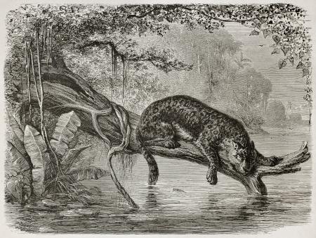 jaguar: Jaguar vissen uit een stam groeit over de rivier. Gemaakt door Riou en Laplante, gepubliceerd op Le Tour du Monde, Parijs, 1867