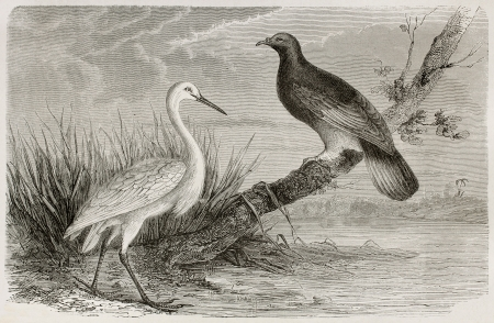 New Caledonia white crane and Goliath Imperial Pigeon. Created by Mesnel, published on Le Tour Du Monde, Paris, 1867