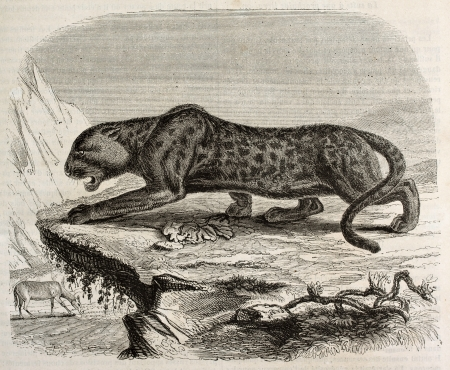 Black panther old illustration. Created by Werner, published on Magasin Pittoresque, Paris, 1842