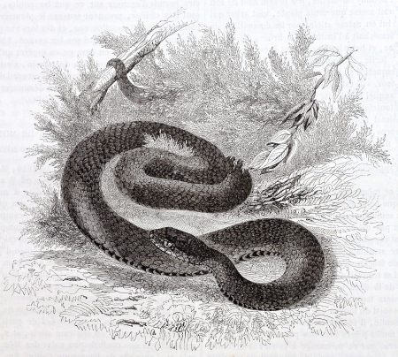Vipera old illustration, black variety (vipera aspis). By unidentified author, published on Magasin Pittoresque, Paris, 1844