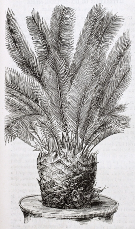 old fashioned vegetables: Cycas revoluta old illustration. By unidentified author, published on Magasin Pittoresque, Paris, 1844