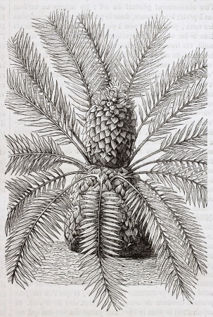 old fashioned vegetables: Breadpalm old illustration (Encephalartos longifolius). By unidentified author, published on Magasin Pittoresque, Paris, 1844
