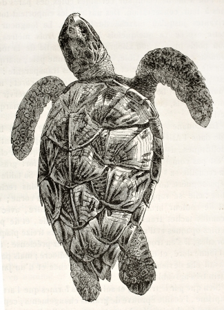 Loggerhead sea turtle old illustration (Caretta caretta). By unidentified author, published on Magasin Pittoresque, Paris, 1844