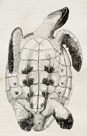 ancient turtles: Loggerhead sea turtle tummy side old illustration (Caretta caretta). By unidentified author, published on Magasin Pittoresque, Paris, 1844