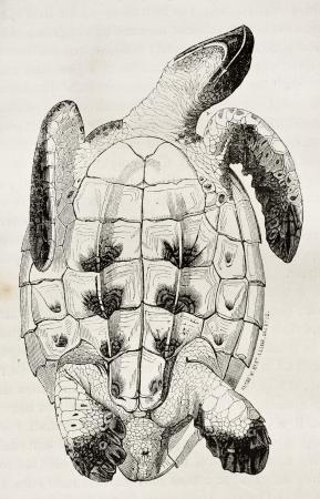 printmaking: Loggerhead sea turtle tummy side old illustration (Caretta caretta). By unidentified author, published on Magasin Pittoresque, Paris, 1844