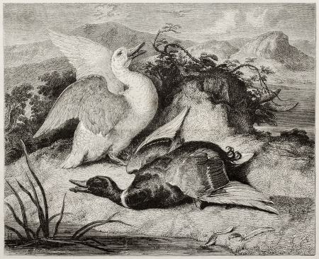 dead duck: Old illustration of duke and drake, alive and dead. Created by Freeman after Landseer, published on Magasin Pittoresque, Paris, 1850