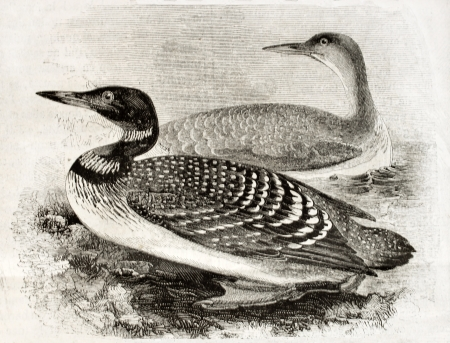 naturalistic: Old naturalistic illustration of Great Northern Loon (Gavia imber). By unidentified author, published on Magasin Pittoresque, Paris, 1850
